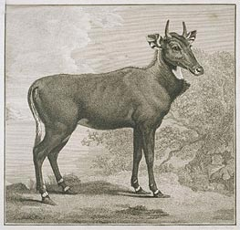 Plate of the Nyl-Ghan, undated by George Stubbs | Painting Reproduction