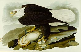 The Bald Headed Eagle from Birds Of America, c.1827/30 by Audubon | Painting Reproduction