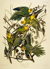 Carolina Parrot. Psittacus. From Birds of America | Audubon | outdated