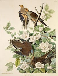 Carolina Pigeon or Turtle Dove | Audubon | outdated