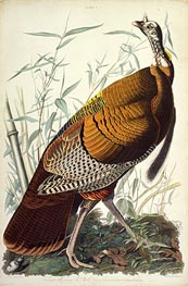 Great American Cock, Male, VULGO (Wild Turkey) Meleagris Gallopavo | Audubon | outdated
