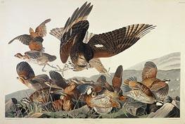 Virginian Partridge, Perdix Virginiana, 1830 von Audubon | Gemälde-Reproduktion