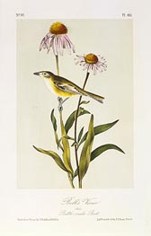 Bell's Vireo, a.1843 by Audubon | Painting Reproduction