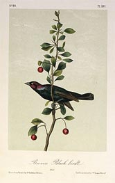 Brewers Black Bird, a.1843 by Audubon | Painting Reproduction