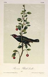 Brewers Black Bird, a.1843 von Audubon | Gemälde-Reproduktion