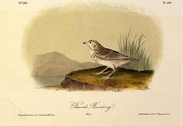 Baird's Bunting | Audubon | outdated