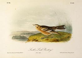 Smith's Lark Bunting, a.1843 by Audubon | Painting Reproduction
