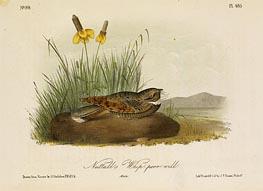 Nuttall's Whip-Poor-Will, a.1843 von Audubon | Gemälde-Reproduktion