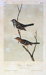 Harris' Finch, a.1843 by Audubon | Painting Reproduction