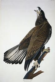 White-Headed Eagle, undated by Audubon | Painting Reproduction