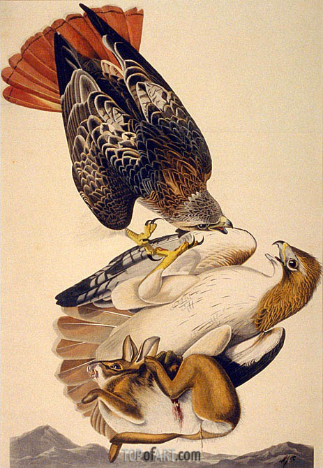 Audubon | Red Tailed Hawk, 1829