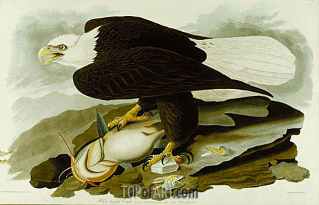 The Bald Headed Eagle from Birds Of America, c.1827/30 | Audubon | Painting Reproduction