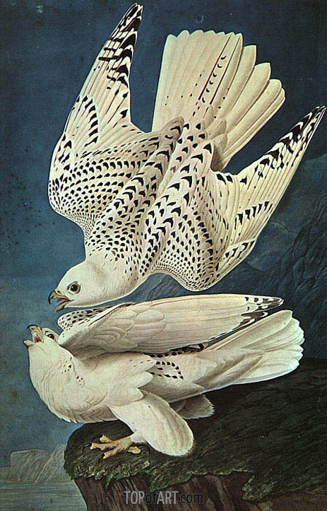 White Gerfalcons, undated | Audubon | Painting Reproduction