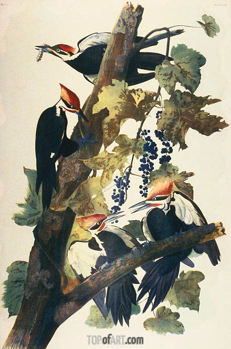 Pileated Woodpecker,  | Audubon | Gemälde Reproduktion