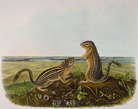 Audubon | Leopard Spermophile (Spermophilus Tridecemlineatus), 1848