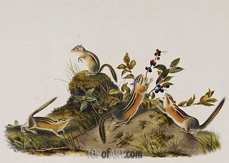 Audubon | Four Striped Ground Squirrell (Tamias Quadivittatus), 1848