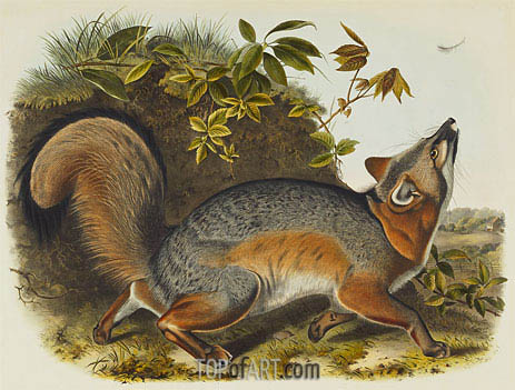 Grey Fox, 1845 | Audubon | Painting Reproduction