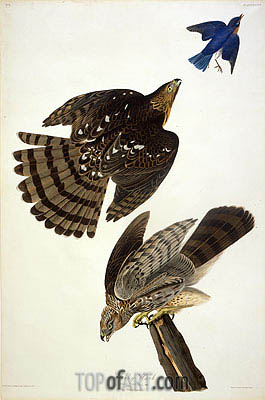 Stanley Hawk, undated | Audubon| Painting Reproduction
