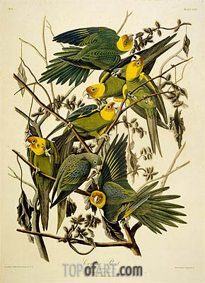 Carolina Parrot. Psittacus. From Birds of America, 1827 | Audubon| Painting Reproduction