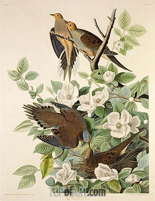Carolina Pigeon or Turtle Dove, c.1825 | Audubon| Painting Reproduction