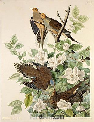 Audubon | Carolina Pigeon or Turtle Dove, c.1825