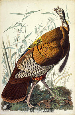 Great American Cock, Male, VULGO (Wild Turkey) Meleagris Gallopavo, 1825 | Audubon | Painting Reproduction