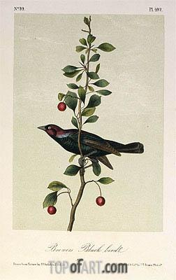 Audubon | Brewers Black Bird, a.1843