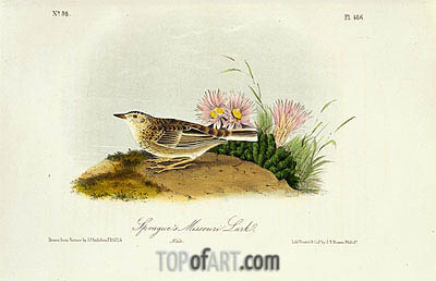 Sprague's Missouri Lark, 1844 | Audubon| Painting Reproduction