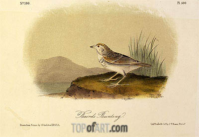 Baird's Bunting, a.1843 | Audubon| Painting Reproduction