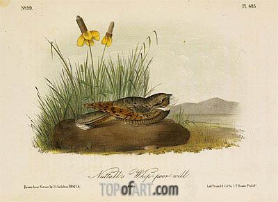 Nuttall's Whip-Poor-Will, a.1843 | Audubon| Painting Reproduction