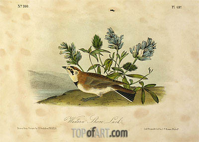 Western Shore Lark, a.1843 | Audubon| Painting Reproduction