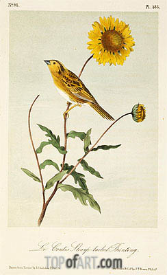 Le Conte's Sharp-Tailed Bunting, a.1843 | Audubon| Painting Reproduction