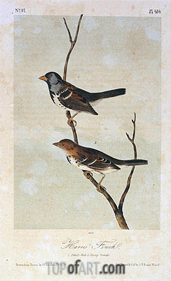 Harris' Finch, a.1843 | Audubon| Painting Reproduction