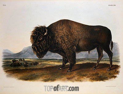 Bos Americanus, American Bison or Buffalo, 1845 | Audubon| Painting Reproduction