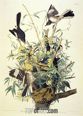 Mocking Bird, Turdus Polyglottus, c.1825 | Audubon | Painting Reproduction