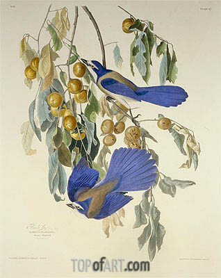 Audubon | Florida Jay. Garrulus Floridanus. From Birds of America, 1830