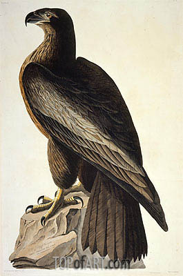 The Bird of Washington or Great American Sea Eagle, 1822 | Audubon | Painting Reproduction