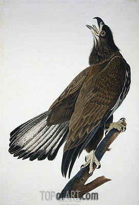 White-Headed Eagle, undated | Audubon| Painting Reproduction
