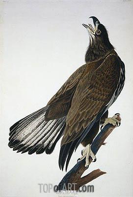 Audubon | White-Headed Eagle, undated